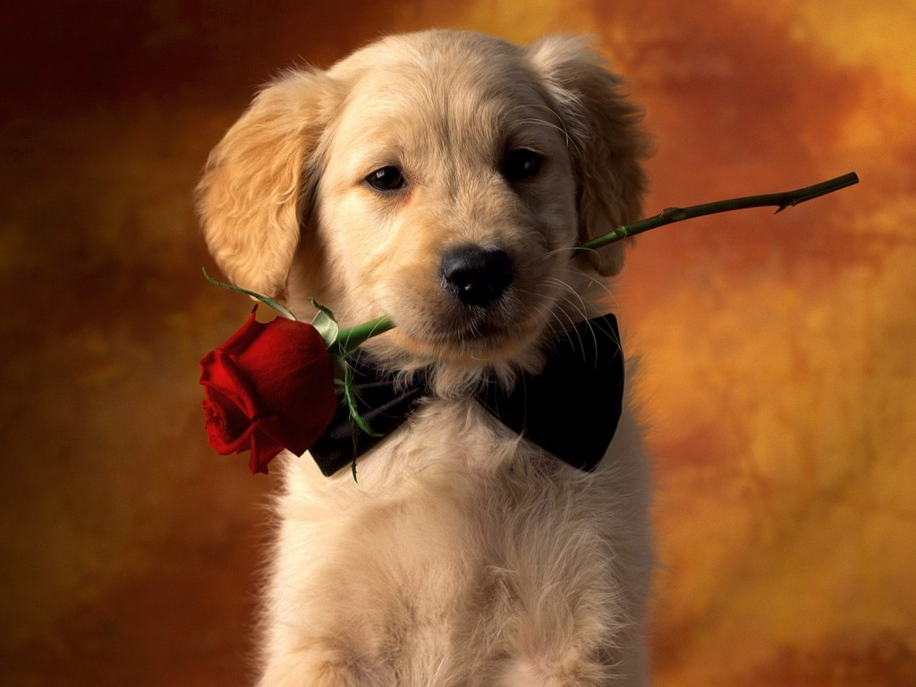 Golden Retriever puppy with rose wallpaper