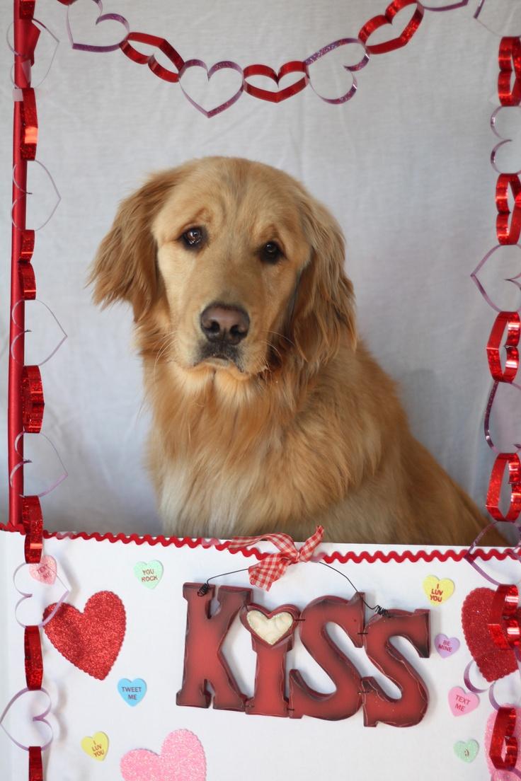 Golden Retriever Valentine фото