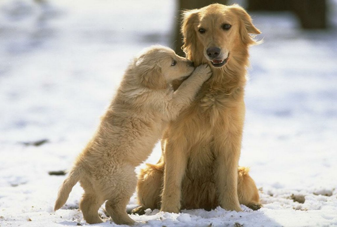 Golden Retriever with puppy wallpaper