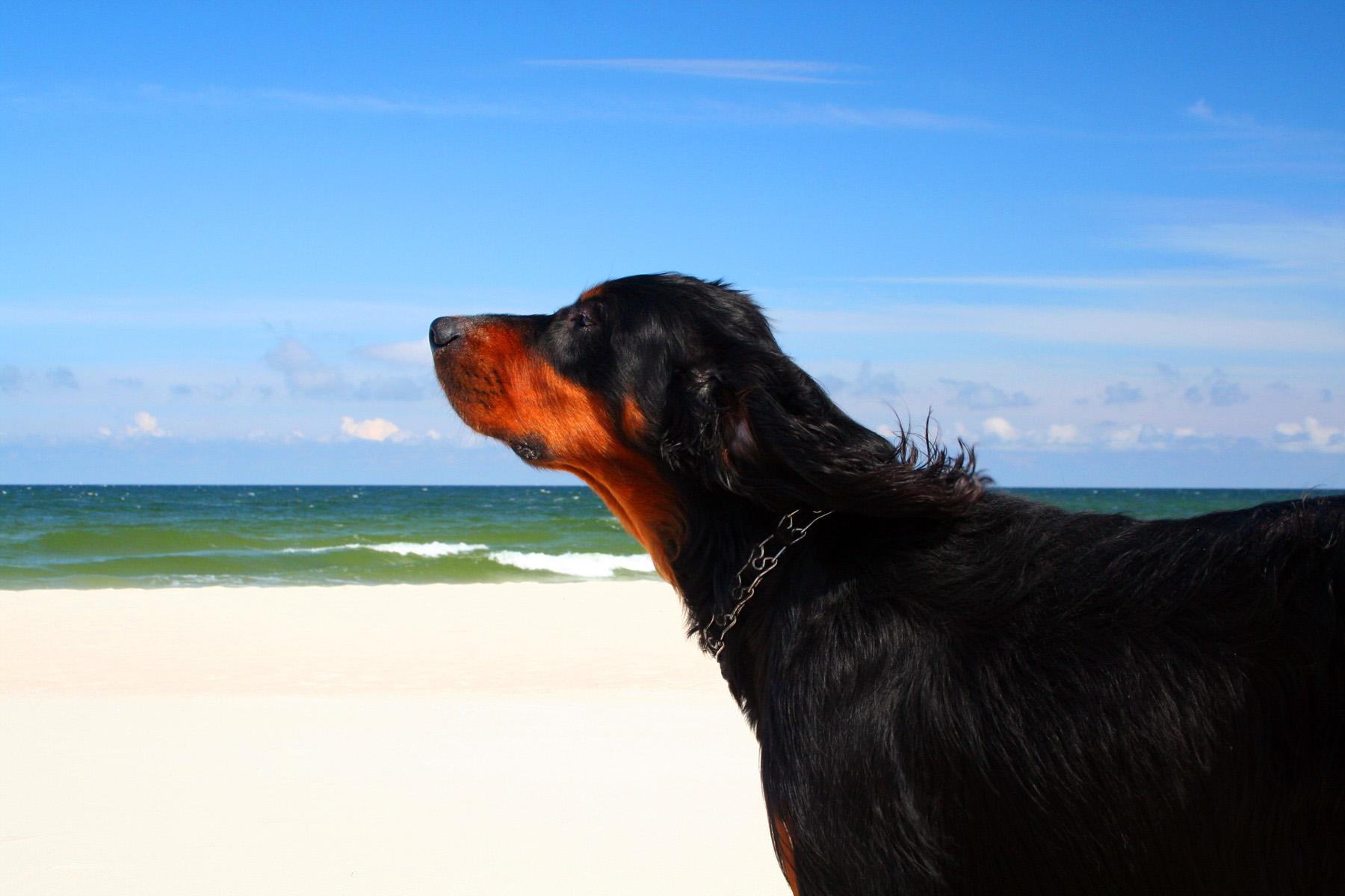 Gordon Setter dog and the ocean wallpaper