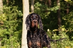 Gordon Setter dog in the forest