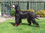 Gordon Setter dog in the yard