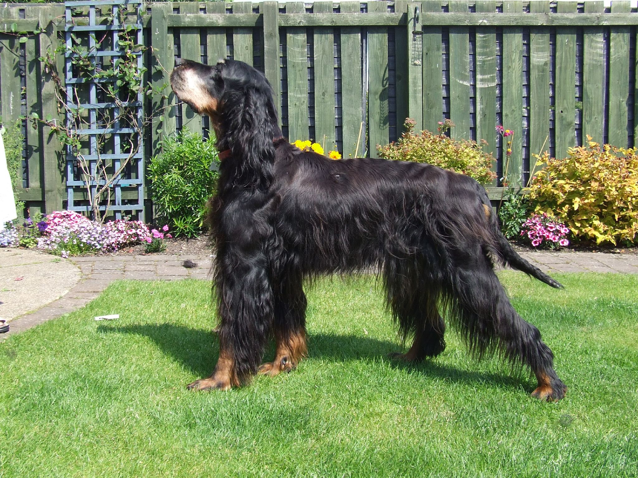 Gordon Setter dog in the yard wallpaper