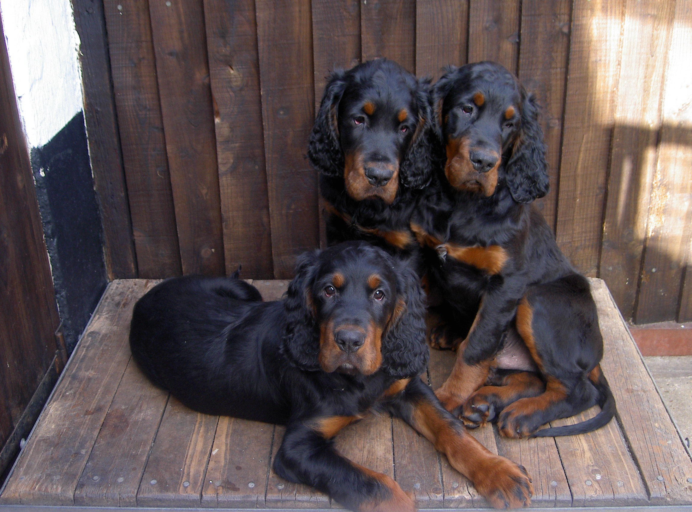 Gordon Setter dogs wallpaper