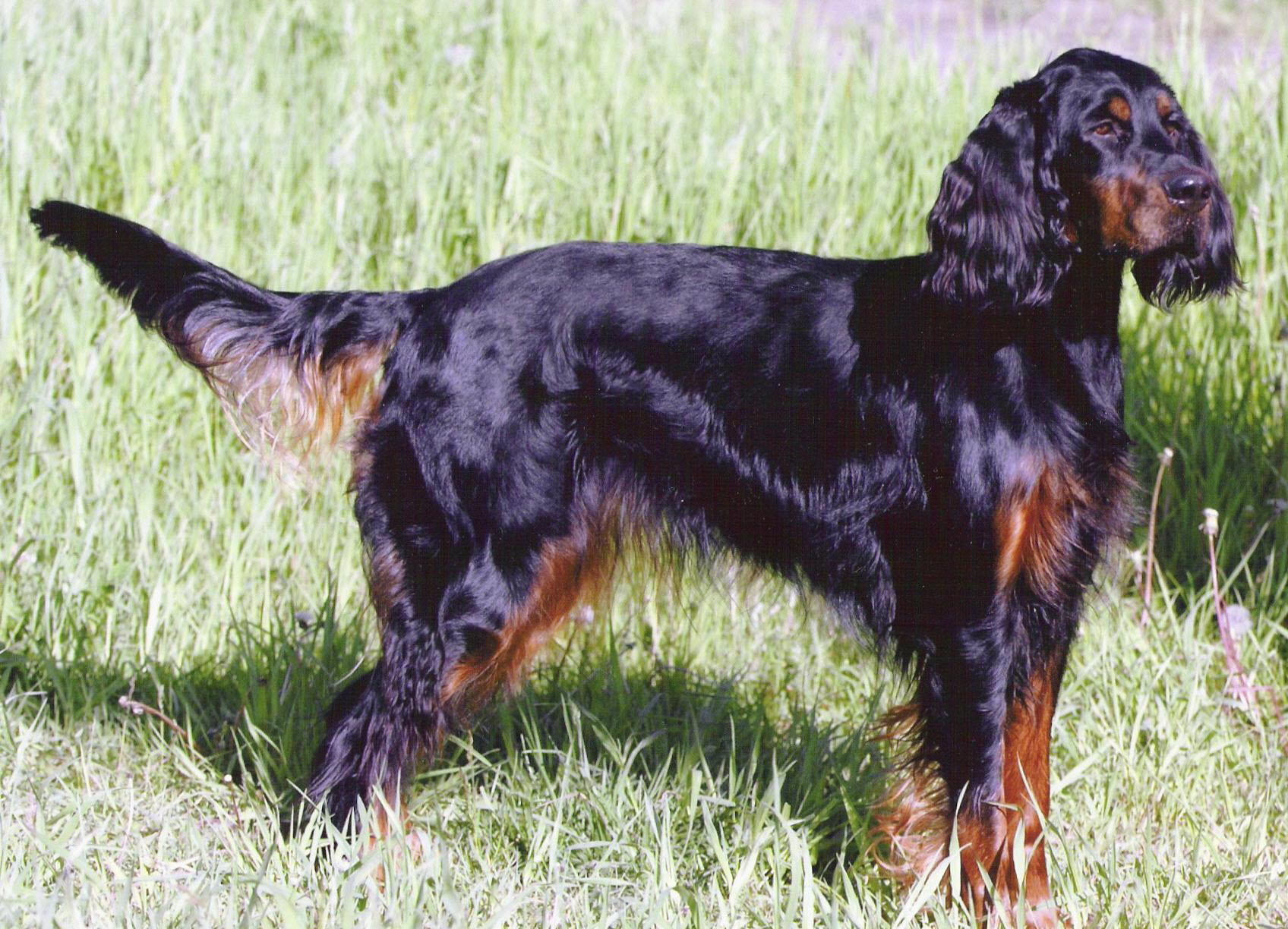 Gordon Setter wallpaper