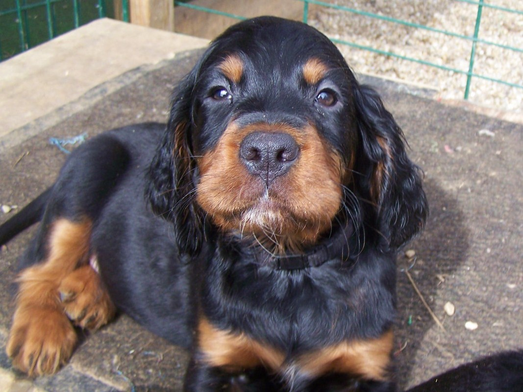Gordon Setter puppy looking at you wallpaper