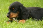 Gordon Setter puppy with a stick