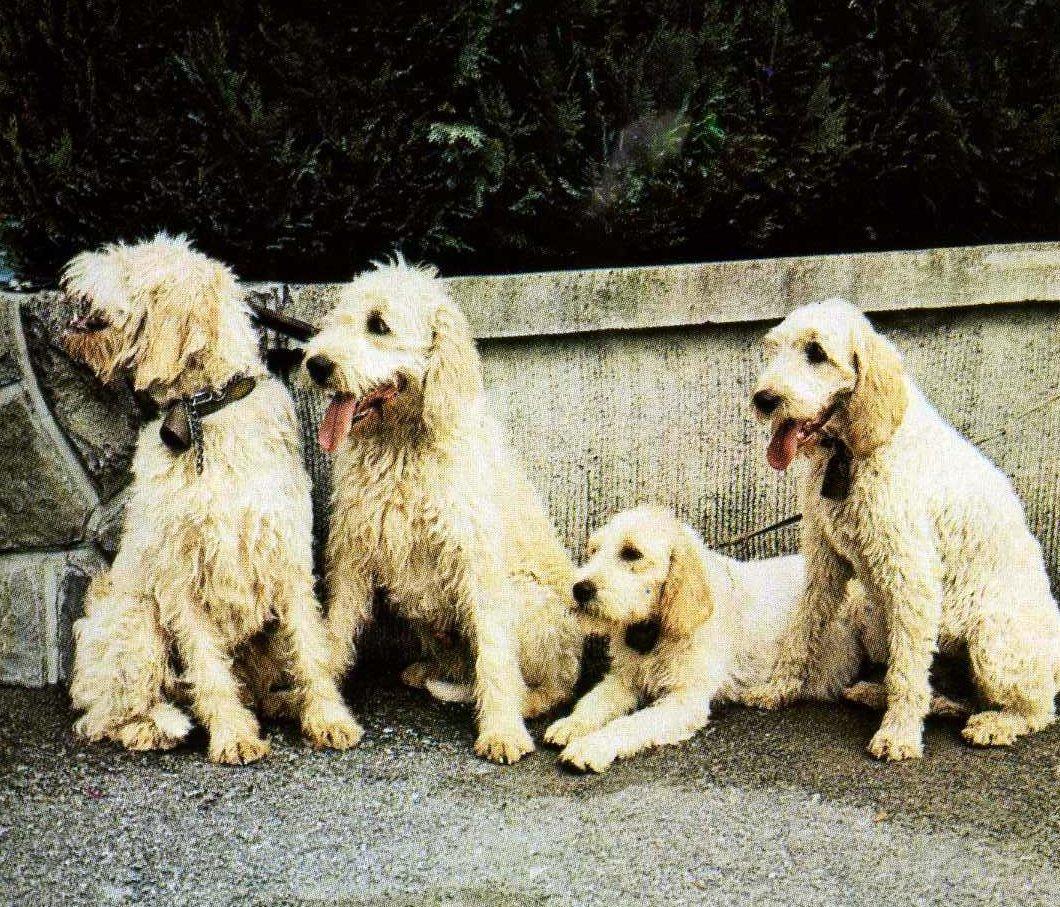 Grand Griffon Vendéen dogs wallpaper