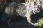 Большая американская эльзасская собака