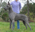 Great Dane dog with the owner