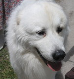Great Pyrenees dog face