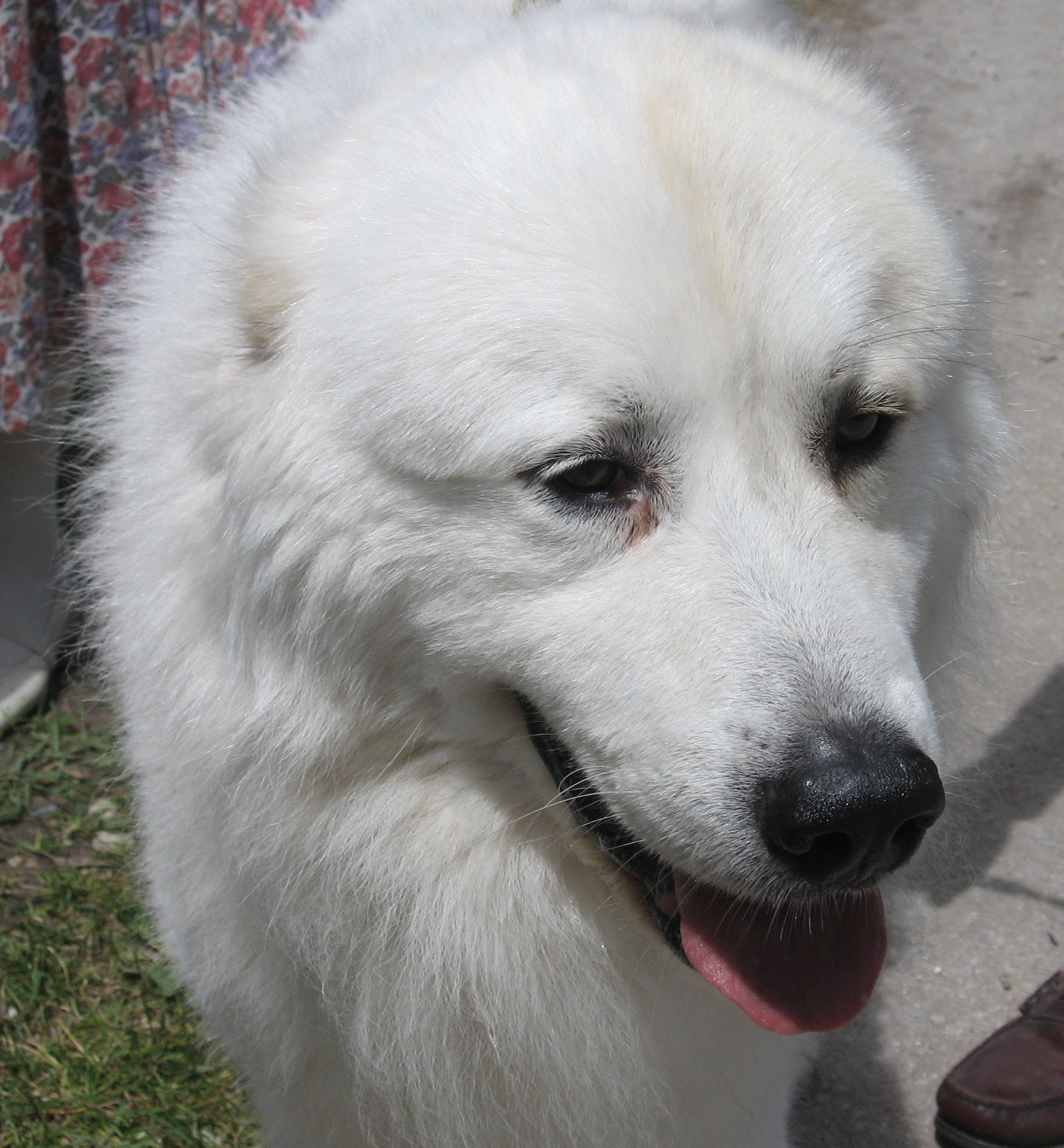 Great Pyrenees dog face photo and wallpaper. Beautiful Great Pyrenees ...