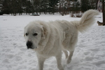Great Pyrenees dog in the snow