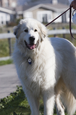 Great Pyrenees dog on the grass