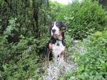 Greater Swiss Mountain Dog  in the forest