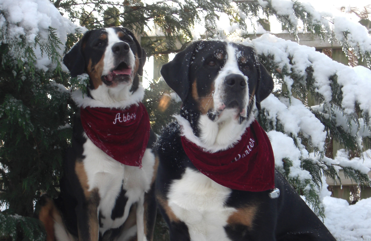 Greater Swiss Mountain Dogs near spruces wallpaper
