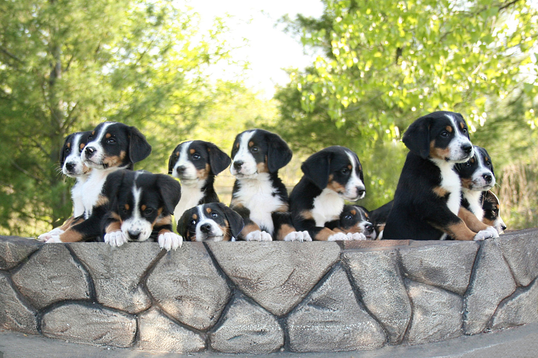 Greater Swiss Mountain Dogs wallpaper