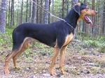Greek Harehound dog in the forest