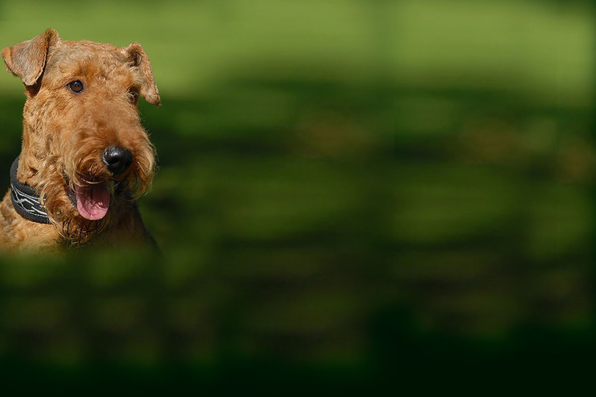 Green Airedale Terrier wallpaper