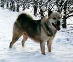 Greenland dog in the snow