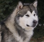Grey Alaskan Malamute dog