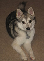 Grey and white Alaskan Klee Kai