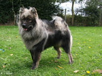 Grey Eurasier dog