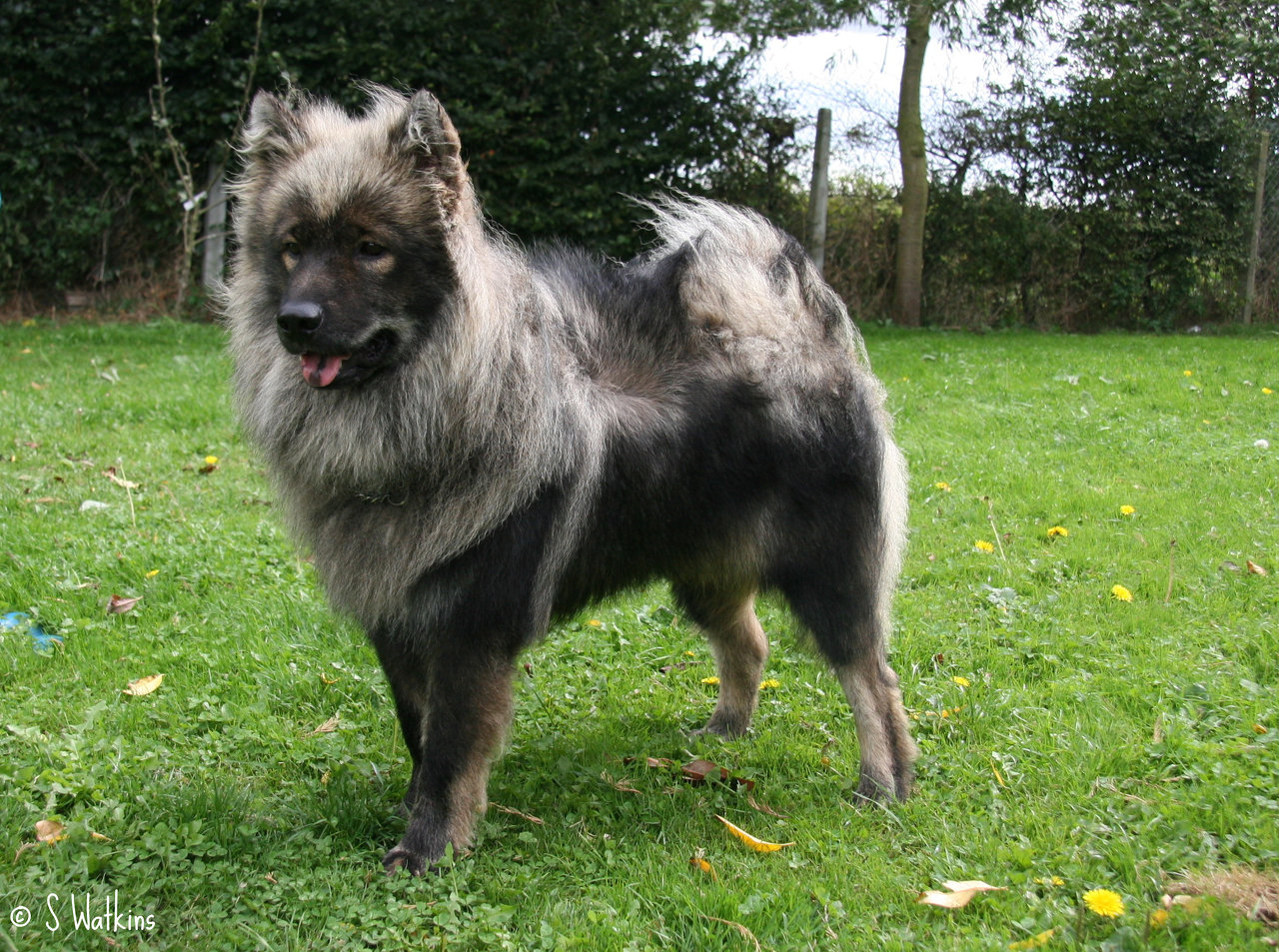 Grey Eurasier dog wallpaper