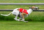 Greyhound dog competitions