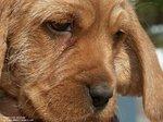 Griffon Fauve de Bretagne dog face