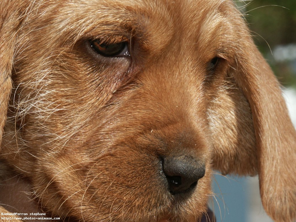 Griffon Fauve de Bretagne dog face wallpaper