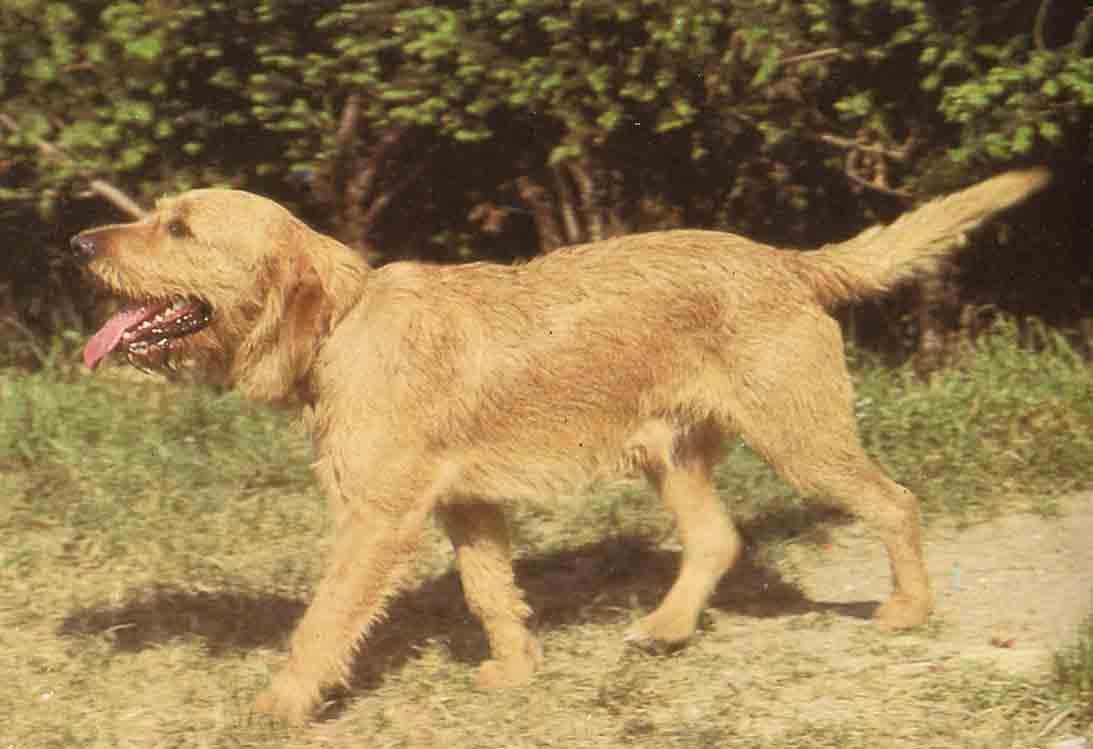 Griffon Fauve de Bretagne dog for a walk wallpaper