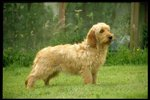 Griffon Fauve de Bretagne dog on the grass