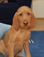 Griffon Fauve de Bretagne dog