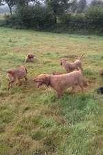Griffon Fauve de Bretagne dogs