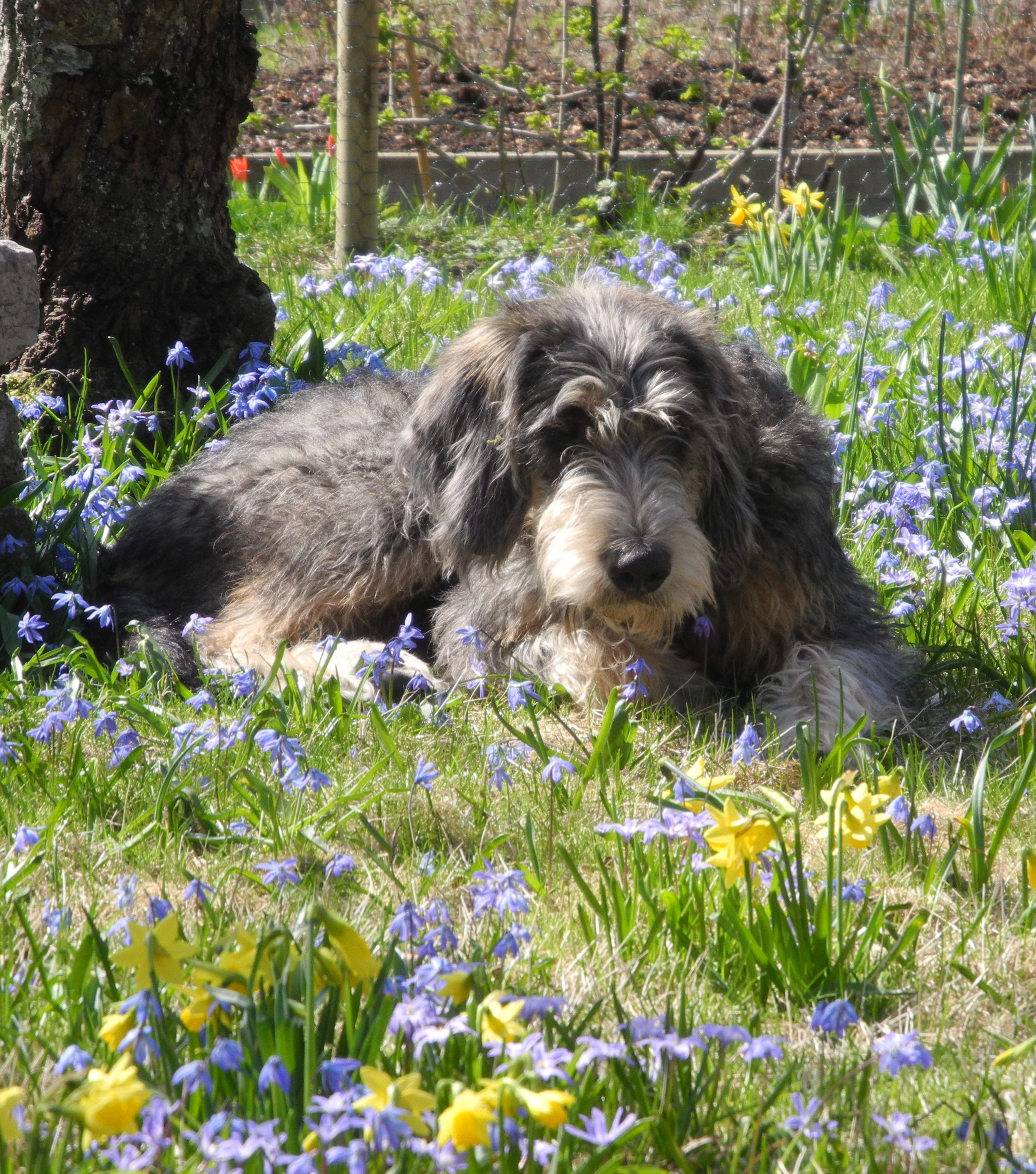 Griffon Nivernais dog in flowers wallpaper