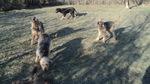 Собаки породы нивернесский гриффон