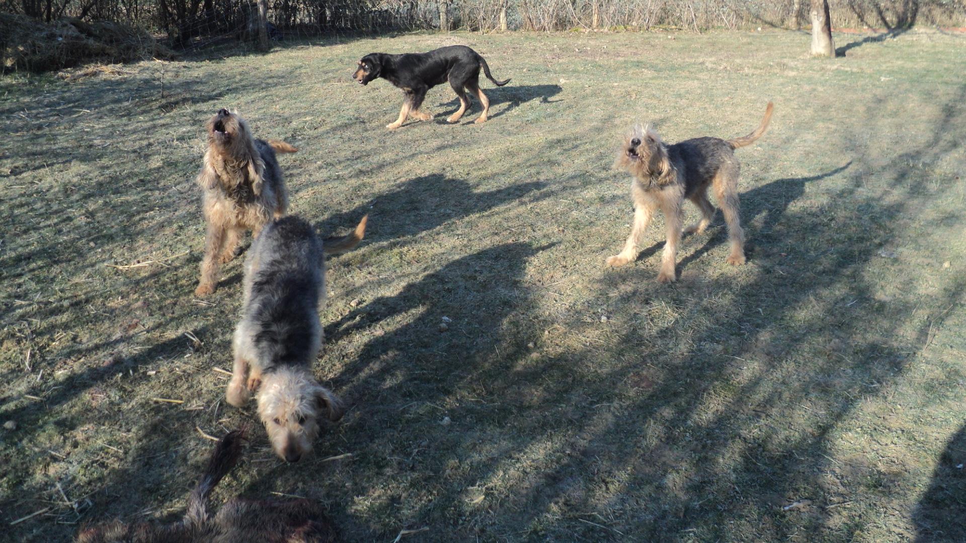 Собаки породы нивернесский гриффон фото