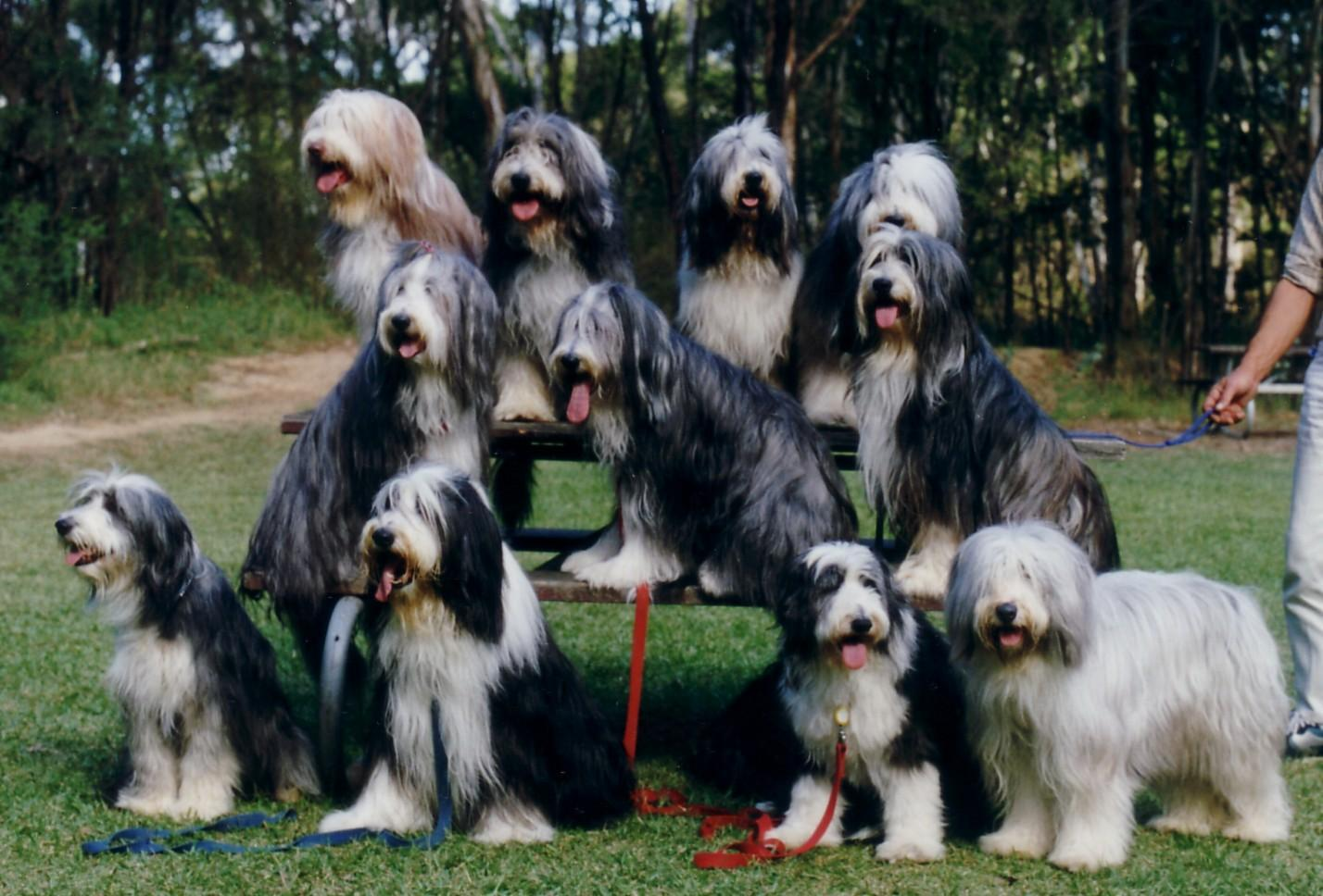 Group Bearded Collie wallpaper