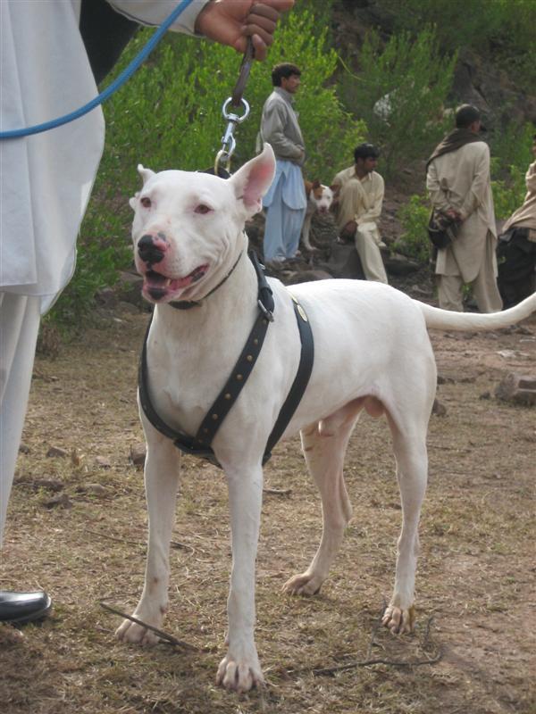 Bull Terrier Dogs For Sale In Pakistan
