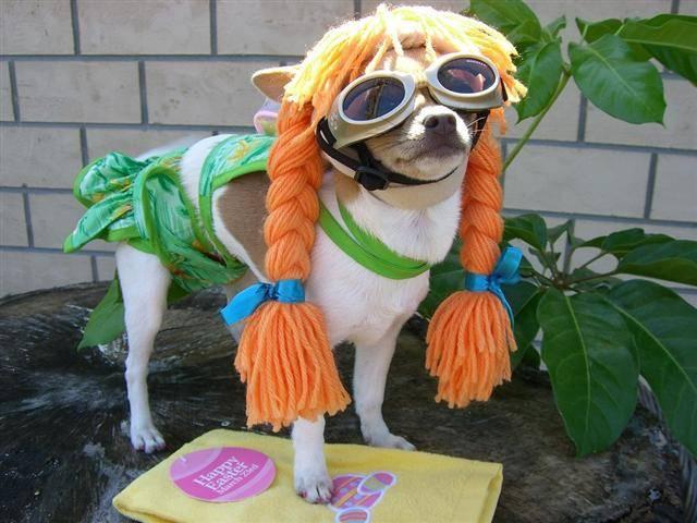 Halloween Chihuahua dog girl фото