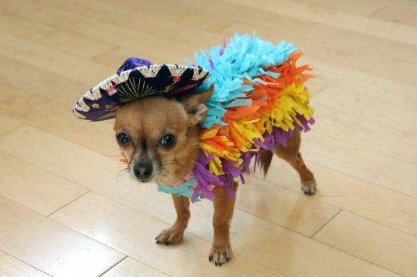 Halloween Chihuahua dog wallpaper