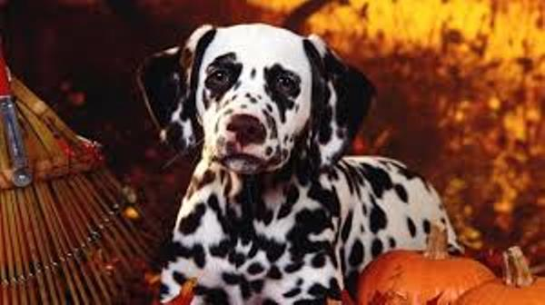 Halloween Dalmatian dog wallpaper