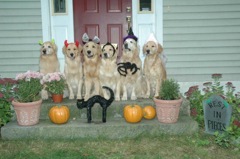 halloween golden retriever dogs photo