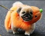 Halloween Pekingese dog