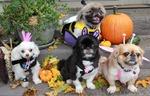 Halloween Pekingese dogs