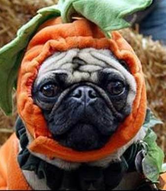 Halloween Pug dog face wallpaper
