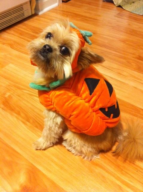 Halloween Yorkshire Terrier on the floor фото