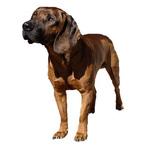 Hanover Hound dog portrait