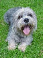 Happy Dandie Dinmont Terrier dog
